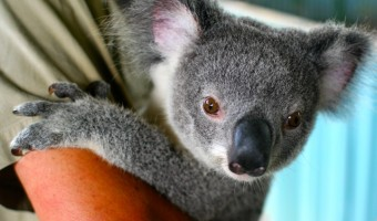 Baby Koala: Facts about a Cute Species