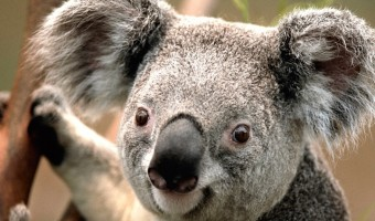 Koala Facts, Pictures