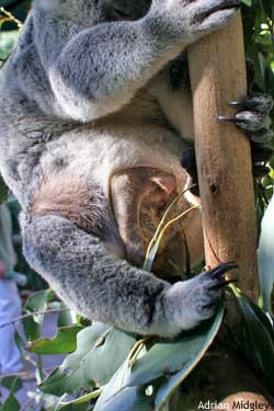Baby koala upside down in its mother's pouch