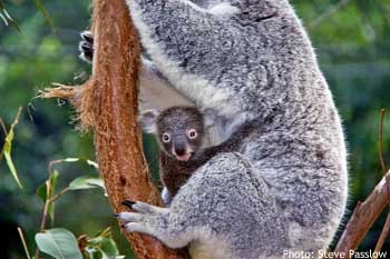 "Baby Koala ""joey"" held tightly against the mother's belly"