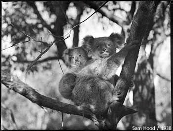 Mother with baby koala on her back