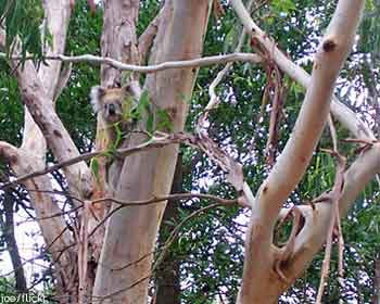 A koala in a tree in its home range