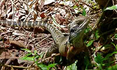 Beach for kids: Eastern Water Dragon