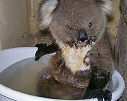 Are Koalas Endangered?