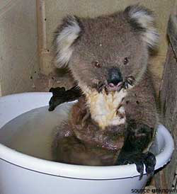 Are koalas endangered? Koala with badly burnt paws sitting in a tub of water after rescue from fire, definitely an endangered koala
