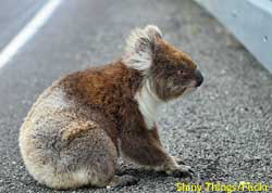 Are koalas endangered? A koala, with no road sense at all, sitting in the middle of the road. That's one endangered koala.