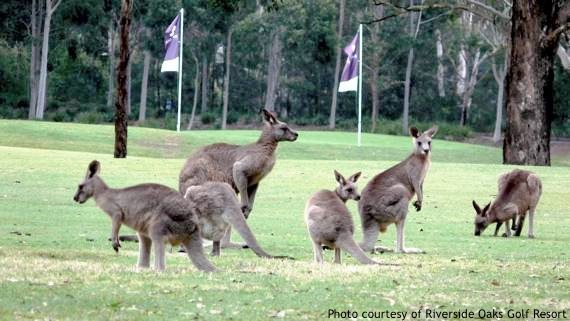 Golf Sydney: kangaroos on the golf course