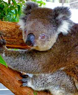Koala care: koala in tree