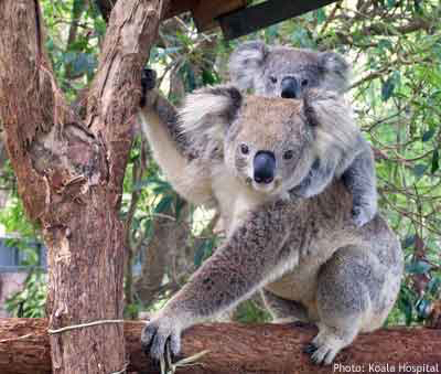 Koala care: Hastings Grace and Noah in tree