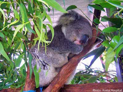 Koala care: Seaview Farida