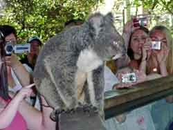 Koala pictures with people too close