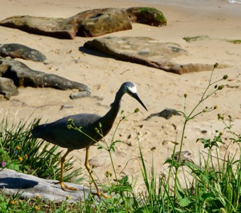 Sydney harbour walks: a heron going about its business, oblivious to human interest.