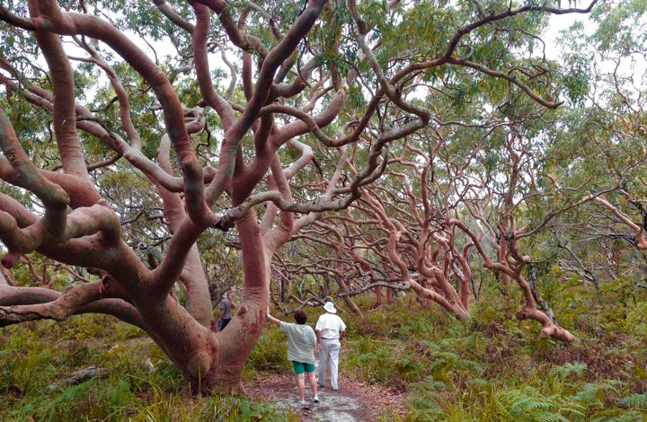 Sight seeing from Sydney: Angophora trees in the Royal National Park